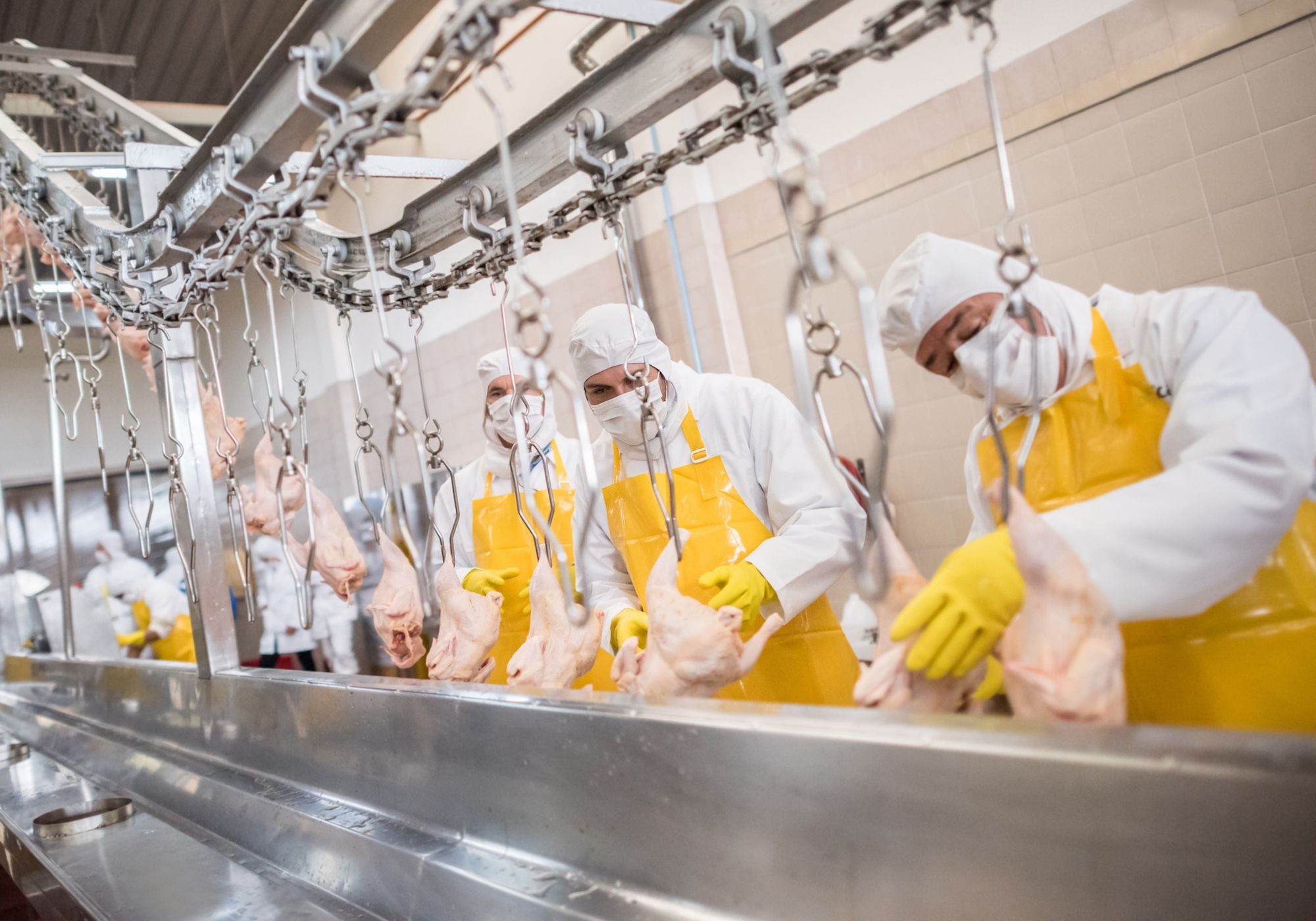 Workers at a food factory doing quality control con chickens